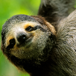 Brown-throated Three-toed Sloth [Bradypus variegatus]