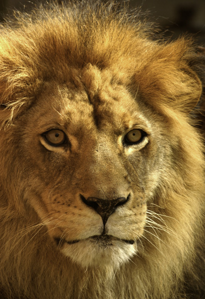 Male-Lion-Close-Up
