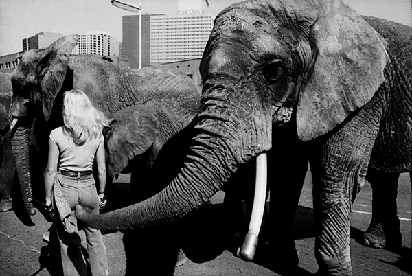 An elephant handler gets goosed by an elephant on display in Dallas, Texas.
