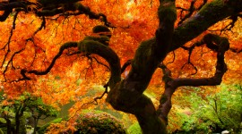 That Tree in Fall in the Portland Japanese Garden