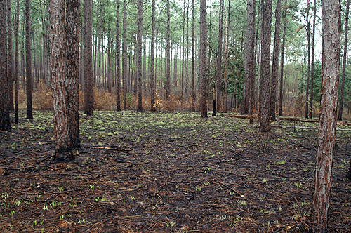Long leaf pine control burn