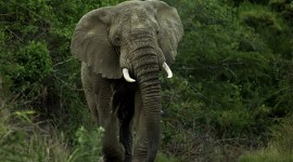 bull elephant in musth with a swaggering gait approaching time to leave