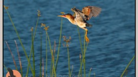 Least Bittern taking off in flight