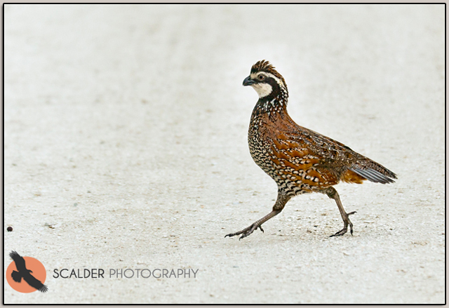 Male Northern Bobwhite prancing across dirtroad