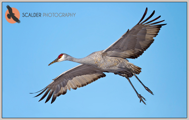 Sandhill-Crane-coming-in-for-a-landing