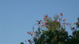 Hummingbird with morning glorry