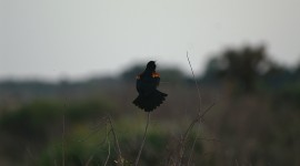 Red Winged Blackbird, Agelaium phoeniceus