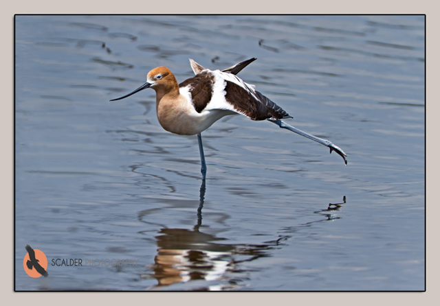 American Avocet in water stretching a leg