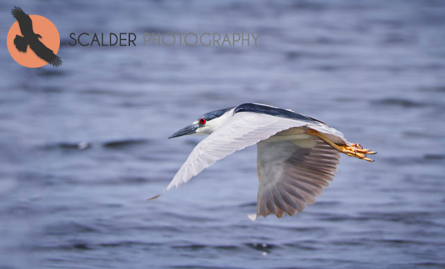Black-Crowned-Night-Heron-in-flight-wings-in-downstroke