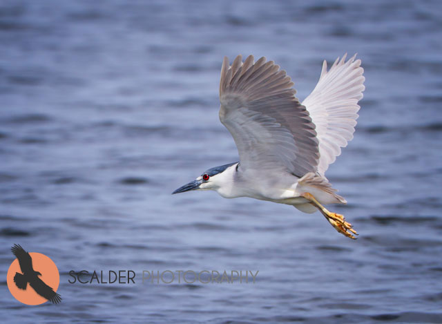 Black-Crowned-Night-Heron-in-flight