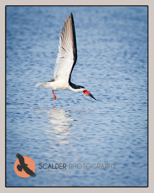 Black Skimmer flying just above surface of water
