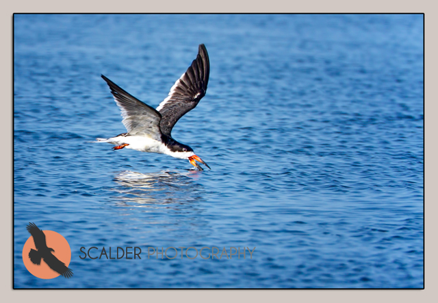 Black Skimmer, skimming