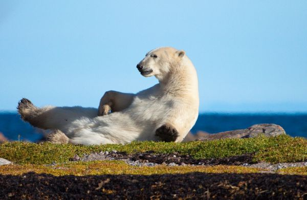 Polar Bear roams Autumn landscape