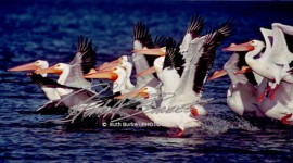 Flying-Great-White-Pelicans