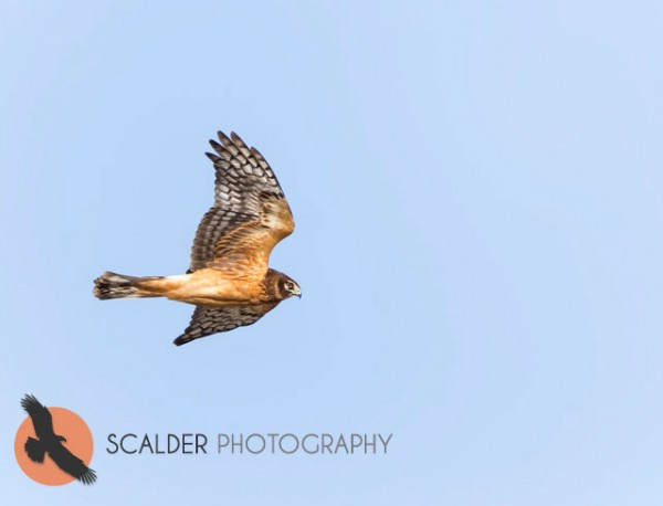 Juvenile Northern Harrier in flight