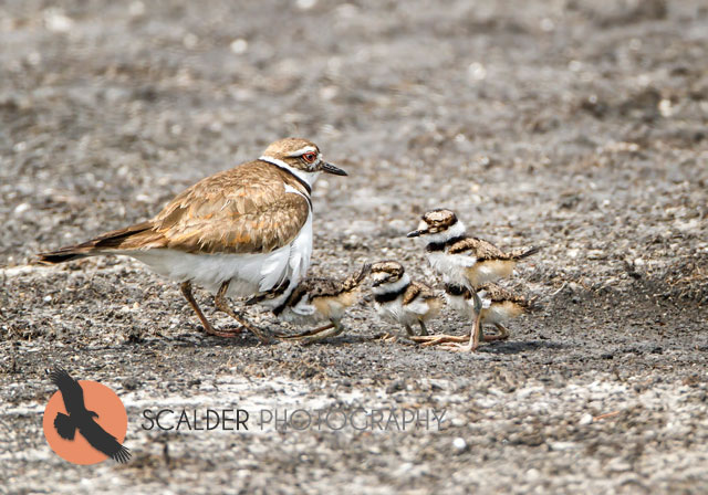 Kildeer-with-chicks