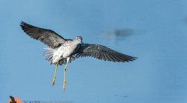 Lesser Yellowlegs landing in water