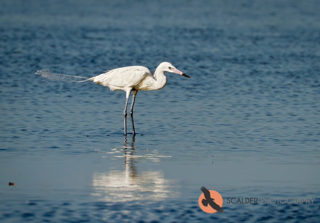 Reddish Egret, White Morph