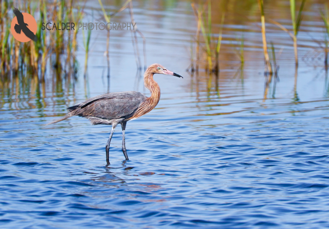 Reddish Egret standing in water