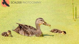 Mottled Duck with Ducklings