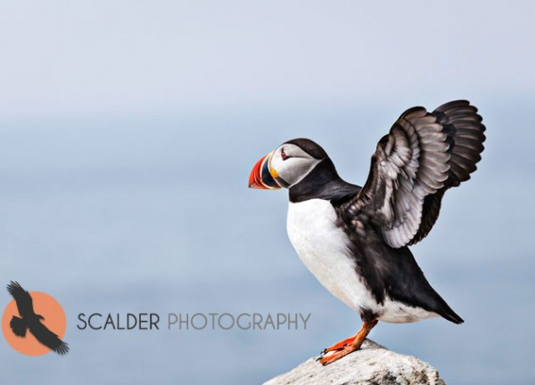 Atlantic Puffin standing on rock