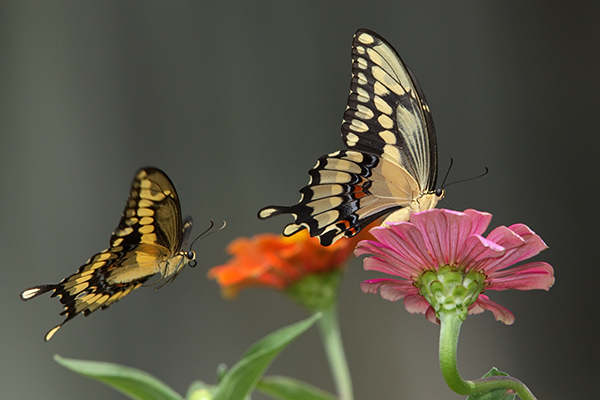 Swallowtail-Mating-Behavior