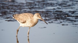 Willet Standing in water