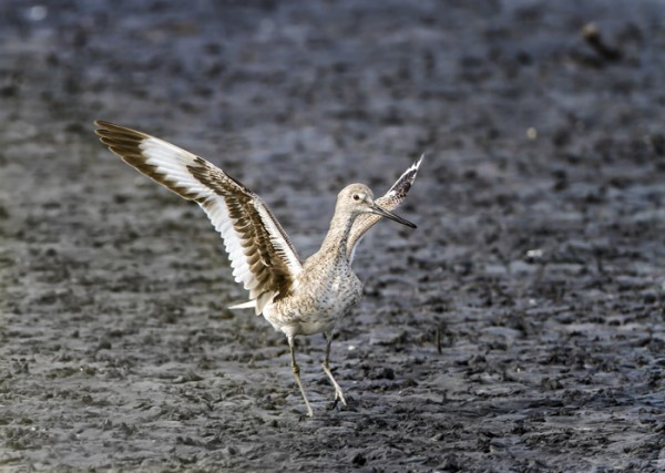 Willet taking off