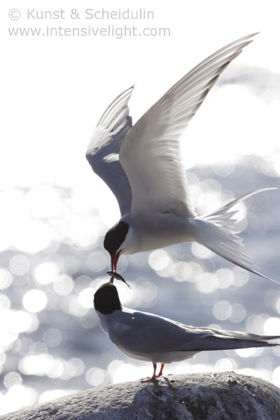 Couple of Arctic terns (Sterna paradisaea) feeding each other