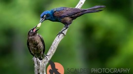 Common Grackle feeding young