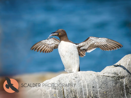 Thin-Billed Bridled Murre with fish