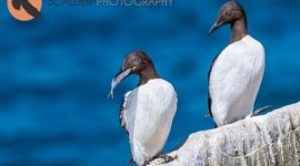 Two Thin-Billed Murre