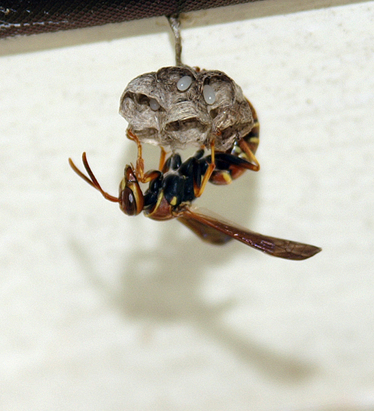 Brown wasp - Polistes fuscatus
