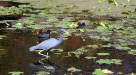 Little blue heron and common galinu