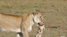 the-mourning-of-a-lioness-in-the-masai-mara