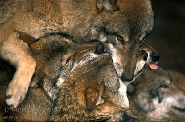 Grey wolves (Canis lupus) interacting