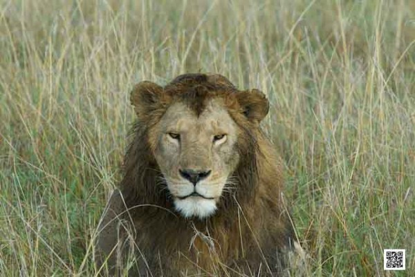 a-day-with-a-pride-of-lion-in-serengeti-copy