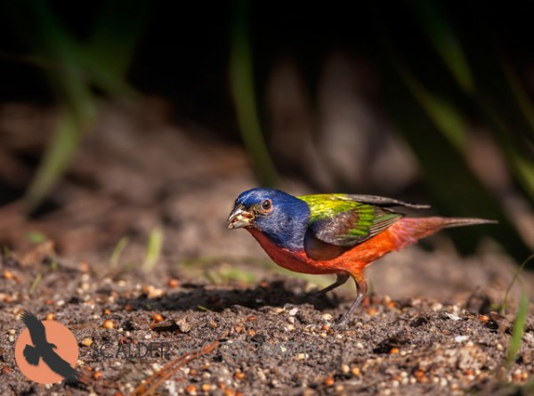 Bright Male Painted Bunting