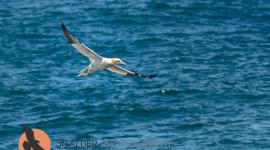 Northern Gannet flying low over water