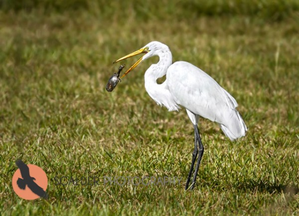 Great Egret with turtle