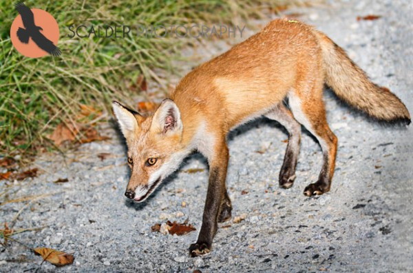 Red Fox walking along gravel road