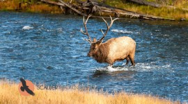 Bull Elk crossing river