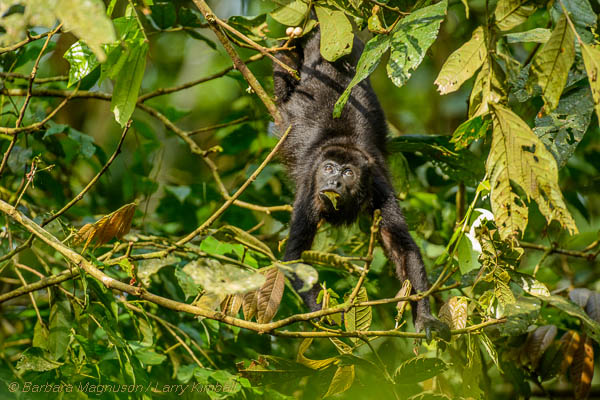 Mantled Howler Monkey [Allouata palliata]