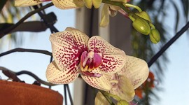 Phalenopsis Orchid Flowers