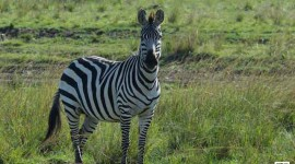 mother-zebra-in-masai-mara-copy2