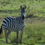 mother-zebra-in-masai-mara-copy3