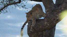 leopard-in-tree-copy
