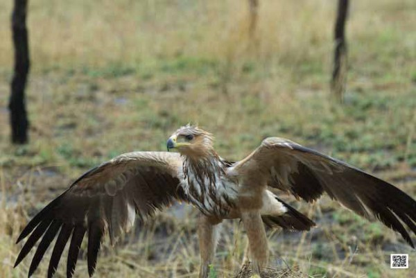 wet-eagle-in-serengeti-copy