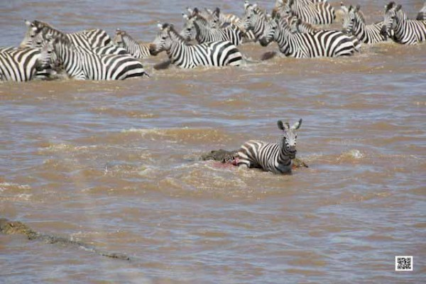 zebra-killed-by-crocodile-copy