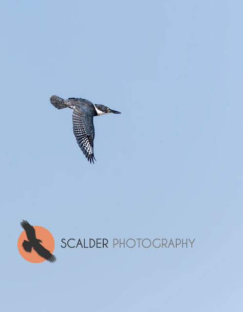Kingfisher in flight with wings in downstroke